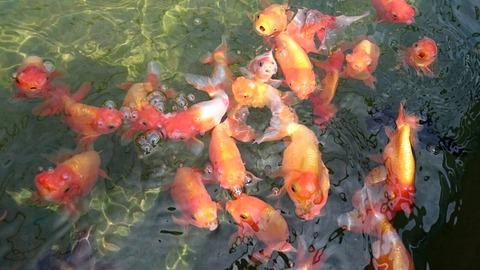 葛飾区/珍しい金魚がいる金魚展示場