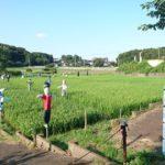 【我孫子】手賀沼沿いの田んぼを守る「カカシアベンジャーズ」