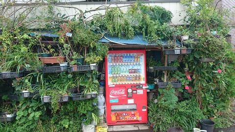 【葛飾区】金町のラピュタ…緑の壁に覆われた家…